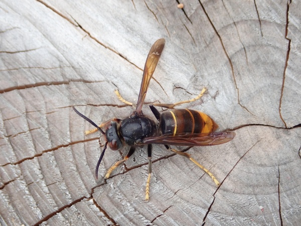 Aziatische hoornaar